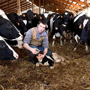 Student feeding a baby calf and surrounded by cows